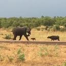 elephant-recule-face-bebe-buffle