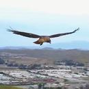 faucon-vol-sur-place