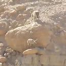 miniature pour Loup vs Bébé Chèvre