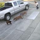 miniature pour 2 pitbulls déchiquettent un chat assis devant sa maison