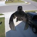 miniature pour Un oiseau qui flotte sur la caméra de surveillance