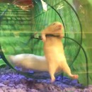 hamster-difficulte-roue