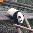 compilation-pandas-tomber