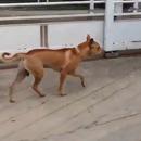 miniature pour Un chien de garde qui traverse les portails