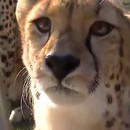 miniature pour Un guépard qui miaule