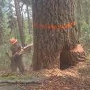 bucheron-evite-arbre-pourri-tombe