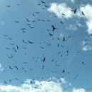 nuee-oiseaux-ralenti