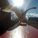 miniature pour Un goéland s'envole avec une caméra en bouche