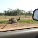 miniature pour Une autruche court à 50km/h aux côtés d'une voiture