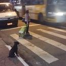 miniature pour Un chien qui attend le feu vert pour traverser