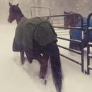 miniature pour Des chevaux regrettent leur sortie dans la neige