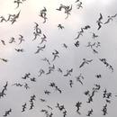 centaines-oiseaux-plonger-poisson