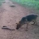 miniature pour Un chien mord une anguille électrique et le regrette