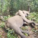 miniature pour Un éléphant se réveille très fâché après un tranquillisant