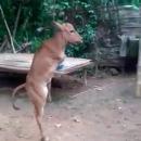 veau-sans-pattes-avant-marche-debout