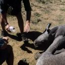 miniature pour Un bébé rhinocéros protège sa mère blessée