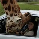 miniature pour La tête d'une girafe bloquée par une vitre de voiture