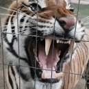 miniature pour Grognement d'un tigre de près