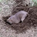 miniature pour Une taupe qui creuse son trou