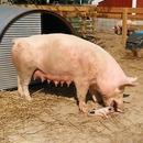 miniature pour Un cochon mange un bébé cochon