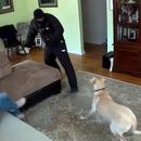 chiens-defendre-maitre-cambriolage