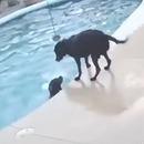 miniature pour Un chien saute dans la piscine pour sauver son pote