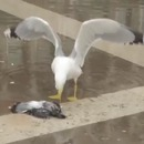 mouette-rire-maniaque-tue-pigeon