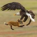 miniature pour Un aigle vole le lapin d'un jeune renard