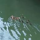 miniature pour Une famille de canetons saute dans l'eau