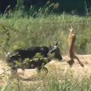 buffle-lion-sauver-lezard
