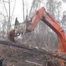 orang-outan-attaque-bulldozer-detruit-foret