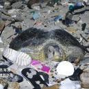 tortue-pond-oeufs-dechets-plastiques