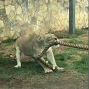 miniature pour Une lionne contre 3 hommes musclés au tir à la corde