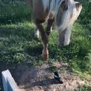 miniature pour Un oiseau se fait écraser par le sabot d'un cheval