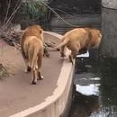 lion-marche-tombe-eau