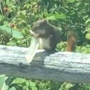 miniature pour Un écureuil mange le contenu d'un préservatif