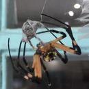 miniature pour Ce qui arrive à une araignée male après un accouplement