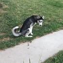 labrador-previent-husky-pipi