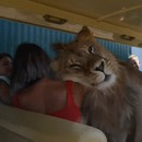 lion-voiture-touristes-safari