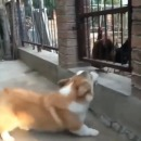 chien-aboyer-poules-peur