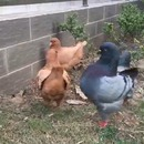 miniature pour Un pigeon qui a passé trop de temps parmi les poules