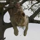 lion-coince-arbre