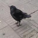 corbeau-caquette-poule-graines
