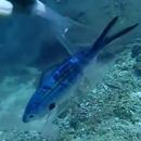 plongeur-libere-poisson-coince-sachet-plastique