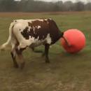 taureau-triste-creve-ballon