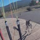 Un parapentiste se fait attaquer par un kangourou à son atterrissage