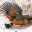 poule-defendre-poussins-attaque-faucon