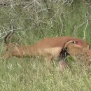 miniature pour Un impala avec les organes qui pendouillent tente de fuir d'une hyène