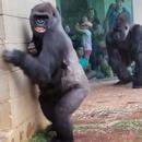 gorilles-pluie