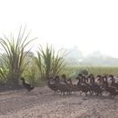Des centaines de canards traversent un chemin